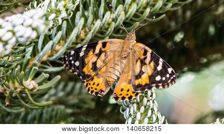 A butterfly clings to the evergreen branches