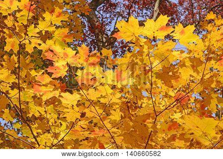 Maple Leaves in Fall Colors in the Morton Arboretum in Lisle Illinois
