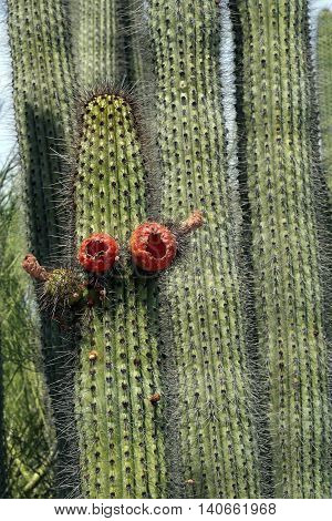 spiny organ pipe cactus with red fruits
