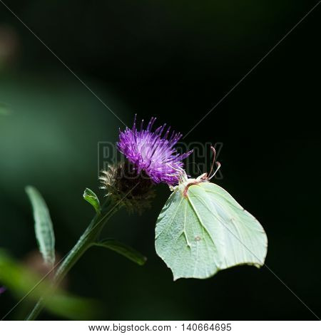 Small white butterfly on purple thistle