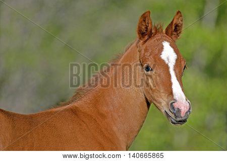 Chestnut Arabian Foal few weeks old portrait