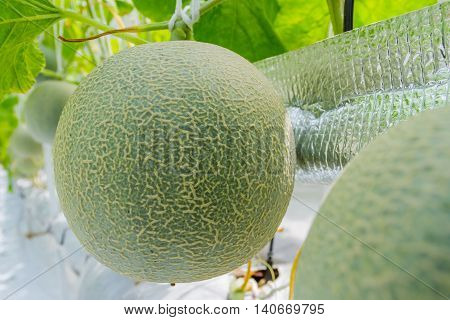 Cantaloupe melons growing in a greenhouse Thailand