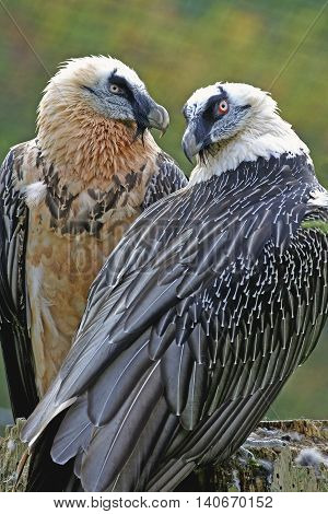Close up portrait  of pair of bearded Vultures