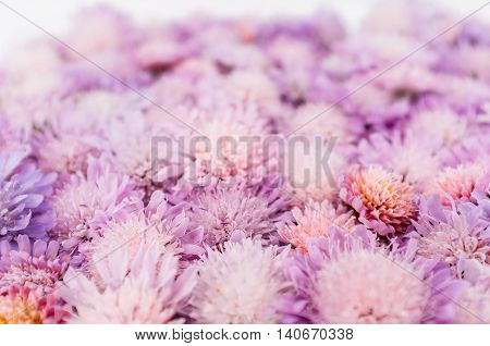 Delicate aster background, romantic flower placer. Bright purple blossom backdrop