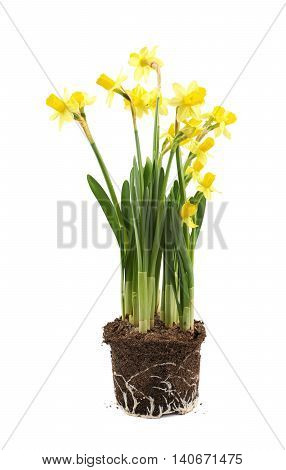 Yellow narcissus flower in a earth cylinder without a pot, composition isolated over the white background