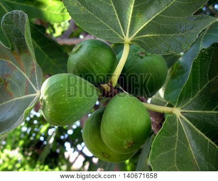 Golden figs growing on a branch, surrounded by fig leaves.