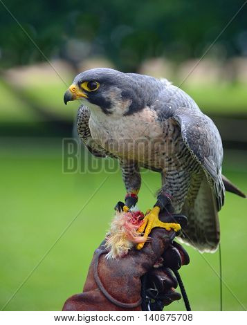 Peregrine Falcon on gloved hand blurred background.