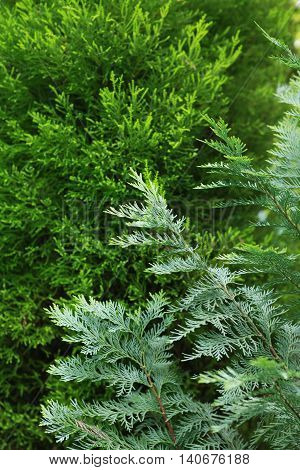 Nature concept. Closeup of pine and thuja trees as background