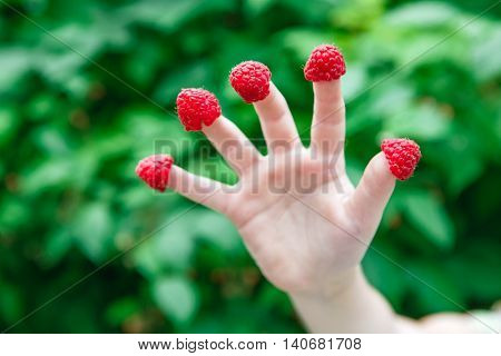 Closeup of child hand with raspberries on fingers at green summer garden bokeh. Harvest of berries, having fun outdoors and healthy nutrition for kids concept.