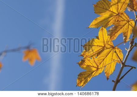 Yellow acer leaves sunlit clear sky and jet condensation trail