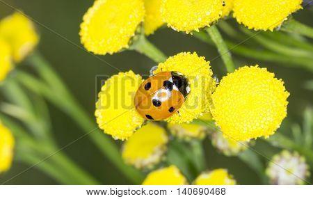 Ladybug on an Yellow Flower close up.