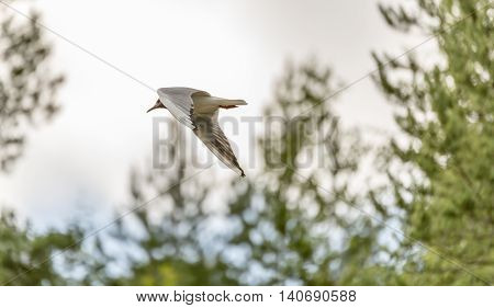 Black-headed Gull Flying with Trees in the background.
