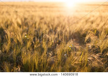 Golden grain field at sunset with a blurry sun halo backdrop
