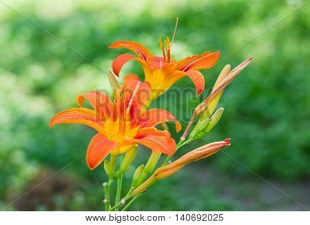 Two flowers of a orange lily on the blurred green background