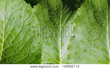Background of a leafage of horseradish with drops of a water closeup