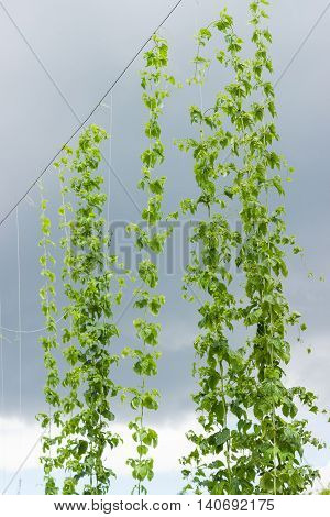 Branches of young hops in hop yard hanging on the support with overhead wires on the background of sky with thunder clouds
