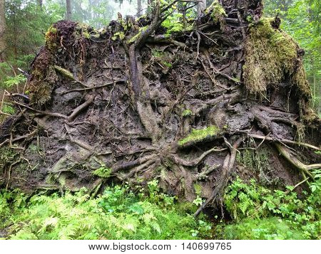 the powerful roots of the dumped, falling in the forest tree, view from below, you can see how the roots grow under the ground