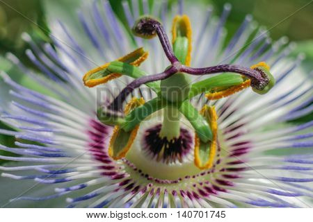Passion flower macro close up shot photography.