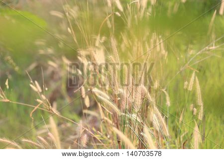 Summer flowering grass and green plants of cornfield in rural areas for design nature background.