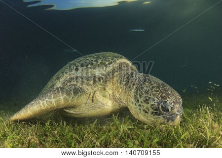 Green Sea Turtle eating grass