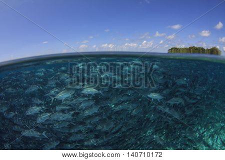Sipadan Island, School Jack fish, ocean surface and blue sunny sky