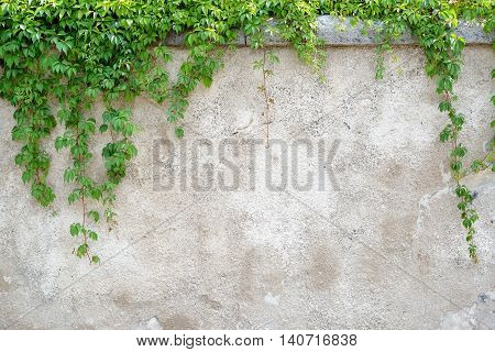 Climbing Leaves On Grey Wall Background