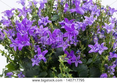 Beautiful vivid purple spring flower bush Dalmatian bellflower (Campanula portenschlagiana)