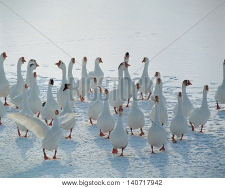 Gaggle above Snowfields