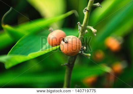 Nutmeg tree, horizontal image, color image, nature