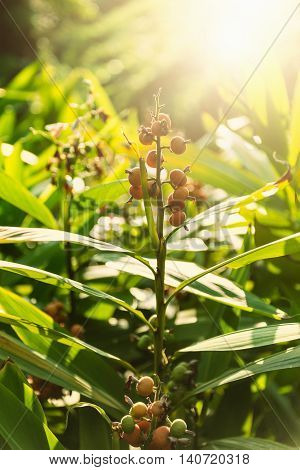 Nutmeg tree in sunlight, vertical image, color image