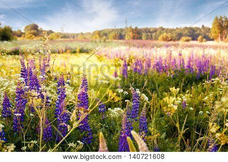 Lupine flowers in the sunlight in the meadow