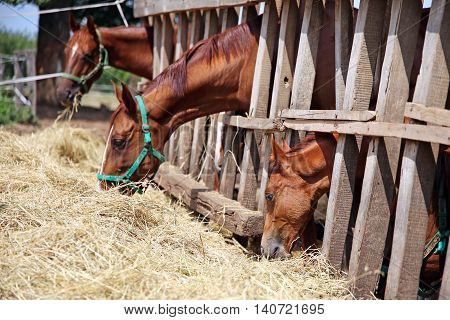 Young horses eating dry hay at animal farm summertime