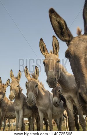 Portrait of wild donkeys with funny faces