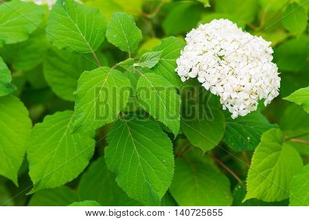 hydrangea bush with one bunch of white flowers and big green leaves for a natural background