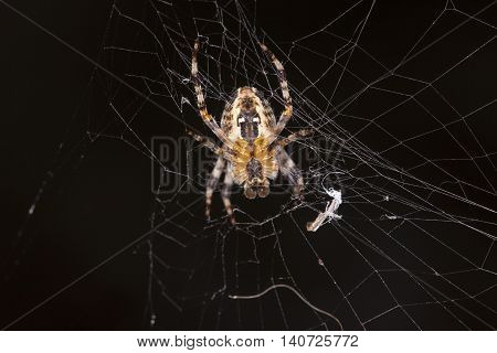 Spider Does Cobweb
