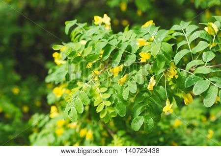 Yellow flowers of acacia at the springtime