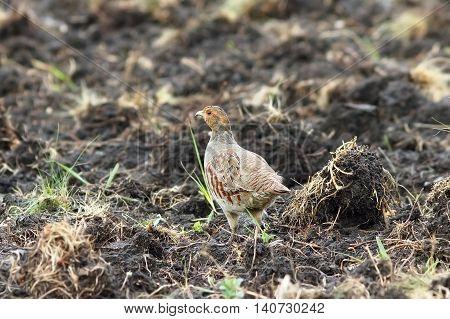 grey partridge on plowed land ( Perdix perdix ) camouflage feathers