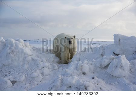 wild white bear in tundra, very close to photographer, looking in your eyes (Novaya Zemlya, Russia).