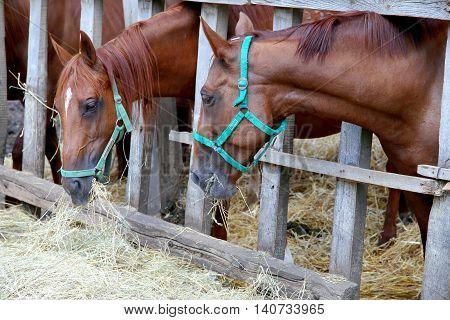 Herd of purebred gidran horses sharing hay on rural animal farm