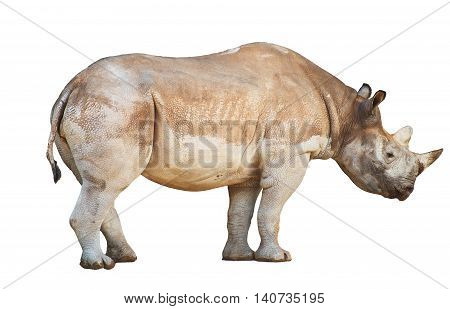 African Rhinoceros isolated on a white background.