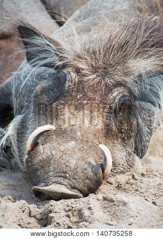 Common warthog resting on the sand. Phacochoerus africanus.