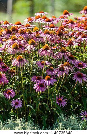 Gerber Flowers In A Garden