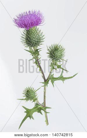 Milk Thistle Mediterranean Plant Alternative herbal medcine