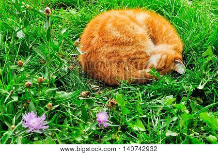 Red cat sleeping in the garden on the green lawn