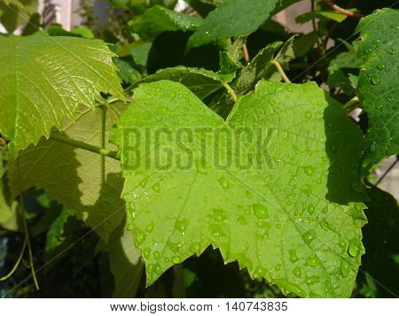 Green Grape Leaves With Unripe Fruit