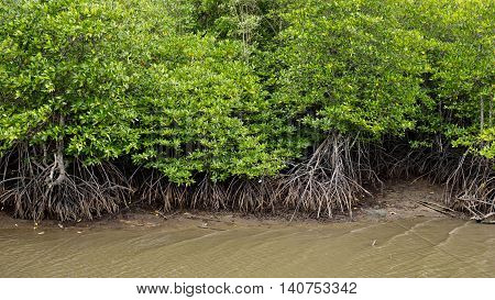 View Mangrove forest green natural outdoor background