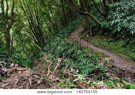 Forest scene from the trekking path Faial da Terra in Sao Miguel Island of Azores Portugal