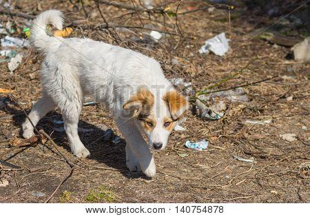Stray hungry dog walks through scrap-heap .