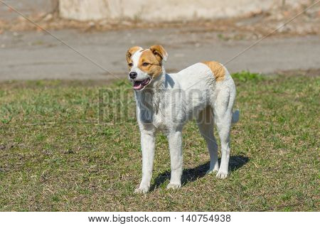 Young stray dog is watching for enemies