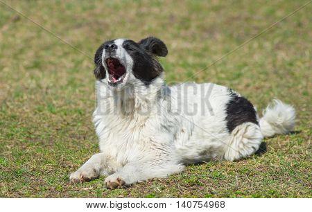 Yawning dog sitting under the first spring sun